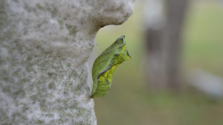 Green chrysalis hanging from grey rock